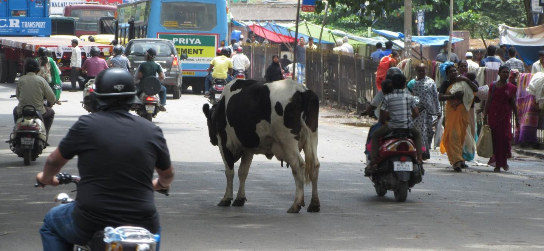 Auch in Bangalore prägen sie das Straßenbild: Kühe.